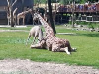 В зоопарке Роттердама антилопа чуть не убила жирафу